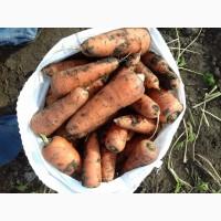 Продам Морковь тип Шантане сорт Абако. Без болезней