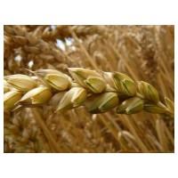 Пшениця тверда яра Ізольда еліта