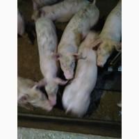 Поросята мясных порід вагою 8-10 10-15 15-25