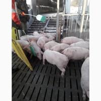Свинокомплекс продает поросят оптом