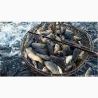 Реализуем. Малек рыбы :белый амур, толстолобик, карп, лещ, карась, линь, судак