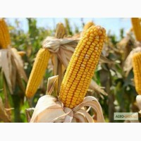 Продам насіння кукурудзи Гран 310
