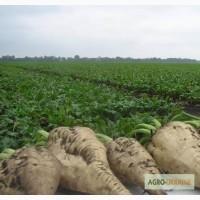 Пропонуємо насіння цукрового буряка АВТОРИТЕТНИЙ