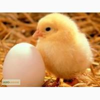 Цыплята бройлер КОББ 500 (от Венгерских заводов по птицеводству)