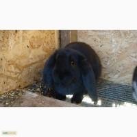 Продам кролика порода французский баран