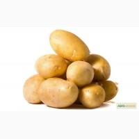 Картофель семенной Лилея Элита
