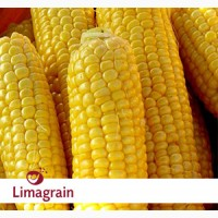 Продам кукурузу ЛГ 2244 от компании Лимагрейн