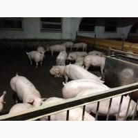 Продам свиней породы Хермитаж Hermitage