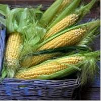 Семена кукурузы Внис, Маис, Рост-агро, G Host, Solar seeds, Монсанто, Пионер
