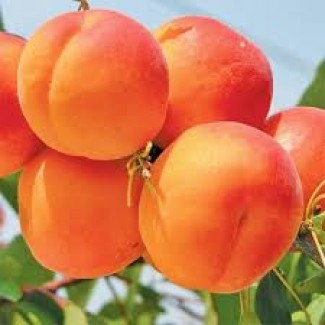 Продам саженцы абрикоса Харкот, Нью Джерси, Фелпс
