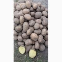 Продам товарную Картопля.Сорта ЛАБЕЛЛА, АДРЕТТА