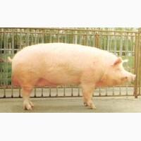 Комбикорм для откорма свиней, TM Gepard