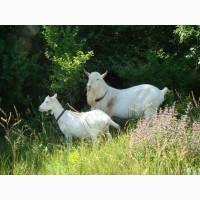 Продаются козы зааненской породы