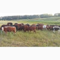 Продам крс( быки, телки, телята, нетели)
