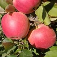 Продам яблука. Сорт Чемпіон Рено