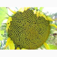 Семена подсолнечника Гастон