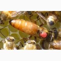 Пчеломатки (бджоломатки) БакфастF1 2019 рік