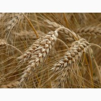 Семена пшеницы Канадский трансгенный сорт мягкой двуручки АMADEO