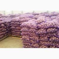 Продам Картофель сорт Романо отличного качества