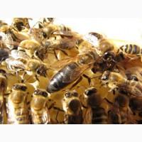 Матка КАРПАТКА 2019 г. Плодная бджоломатка