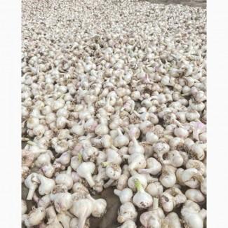 """Херсонский Чеснок """"Любава Таврийская"""" урожай 2020 без ГМО"""