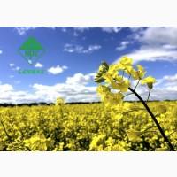 ШРЕК - новий високоврожайний гібрид озимого ріпаку