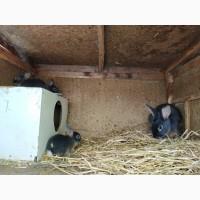 Продам голубых огненных кролей