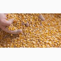 Закуповуємо у виробників кукурудзу по Закарпатській обл