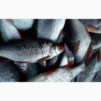 Продам рыбу свежую и свежемороженную карась, лещ, судак, тарань лещ