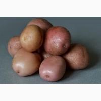Продам товарный Картофель, сорт Романо