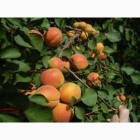 Продам садженці абрикоса