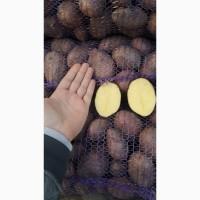 Продам товарну картоплю від 21 тонн