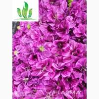 Куплю квіти мальви мавританської(сухі)