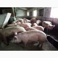 Продам свиней живым весом, Кировоградская обл