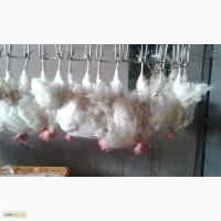Продам живую курицу несушку
