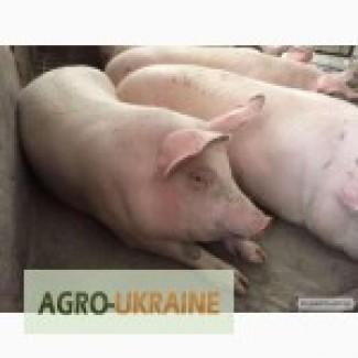Куплю свиней дорого