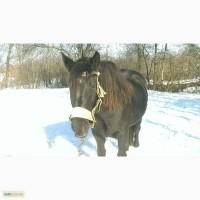 Продаю коня (кобилу), порода Торійка