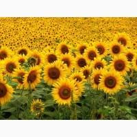 Высокоурожайные семена подсолнечника под Евро-Лайтинг Лимит, технология Клеарфилд
