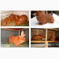 Продам кроликів новозеландські