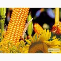 Производим закупку Зерновых и масличных культур (Кукурузу)
