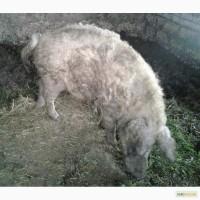 Продам поросят, свиней, поросных свиноматок породы Венгерская мангалица