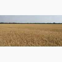 Насіння озимої пшениці сорт Самурай 1 репродукція від 7500 грн/т