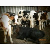 Продам телят молочных
