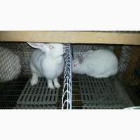 Кролі породи термонська