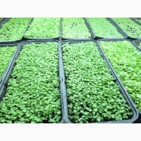 Табак лапша 1-2мм, отличного качества и семена табака.СЕМЕНА ТАБАКА-20грн