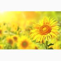 Продаємо Гранд SU посівний матеріал соняшнику (50г/гранстару)
