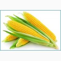 Семена сахарной кукурузы Веге F1 (производитель Украина)