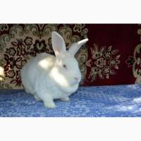 Продам кролі бройлерної породи Білий Панон