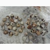 Продам домашні перепелині яйця високої якості