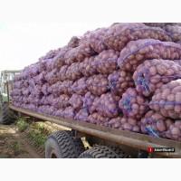 Картошка оптом от 10 тонн